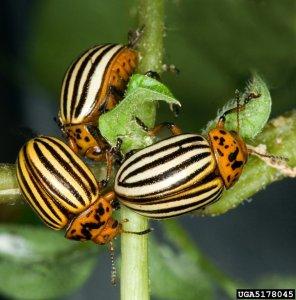 Як колорадський жук став ворогом городів і людей